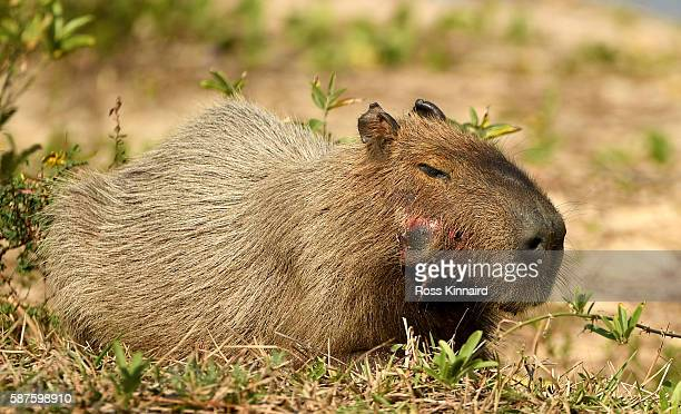A capybara pictured along side the 5th hole during a practice at Olympic Golf Course on August 9 2016 in Rio de Janeiro Brazil