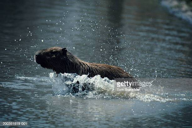 Capybara plunging through water, Central or South America