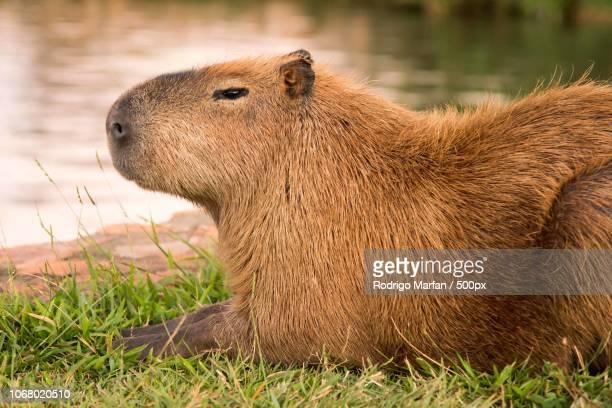 capybara resting near water - capybara stock pictures, royalty-free photos & images