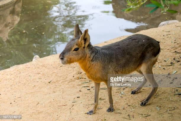 capybara side view - capybara stock pictures, royalty-free photos & images