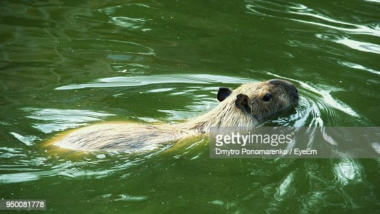 Capybara Swimming In Lake Stock Photo | Getty Images