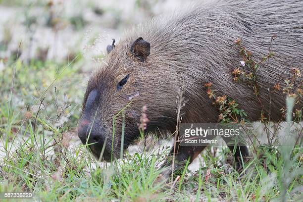 A capybara waits near a green during a practice round during Day 3 of the Rio 2016 Olympic Games at Olympic Golf Course on August 8 2016 in Rio de...