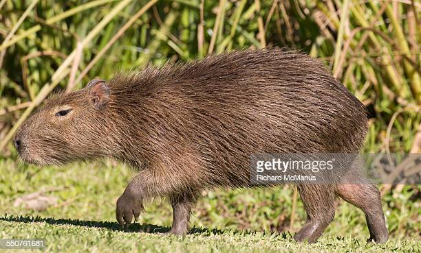 Capybara walking