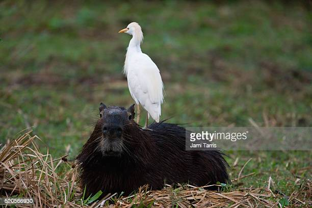 Capybara with a snowy egret on its back