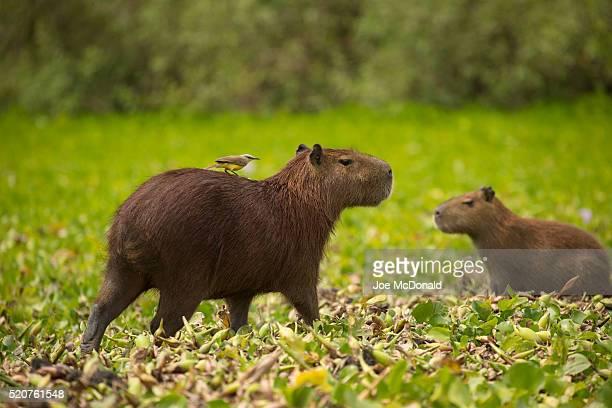 capybara with tyrant hitchhiker - capybara stock pictures, royalty-free photos & images