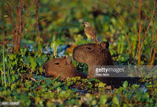 Capybaras and Cattle Tyrant