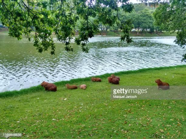 capybaras at lake pampulha (lagoa da pampulha - belo horizonte, brazil - capybara stock pictures, royalty-free photos & images