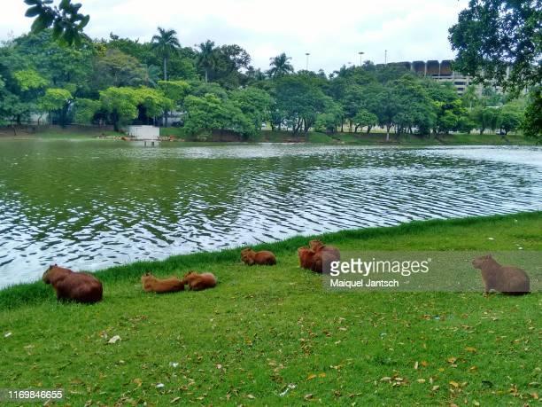 capybaras at lake pampulha (lagoa da pampulha - belo horizonte, brazil - southeast stock pictures, royalty-free photos & images