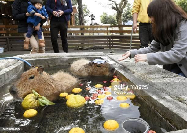 Capybaras bathe with yuzu citrus fruits at Daisen TomSawyer Pasture in Yonago Tottori Prefecture on Dec 22 2017 Bathing with yuzu on the winter...