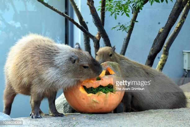 Capybaras eat a Jacko'lantern pumpkin at Aqua Totto Gifu on October 21 2018 in Kakamigahara Gifu Japan