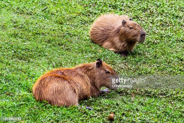 capybaras - crmacedonio stockfoto's en -beelden