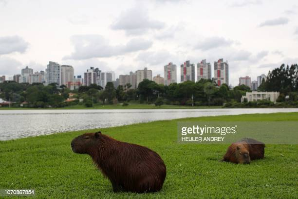 Capybaras remain at the Barigui Park in Curitiba, Brazil on November 24, 2018. - Compared to other Brazilian state's capitals, Curitiba still stands...