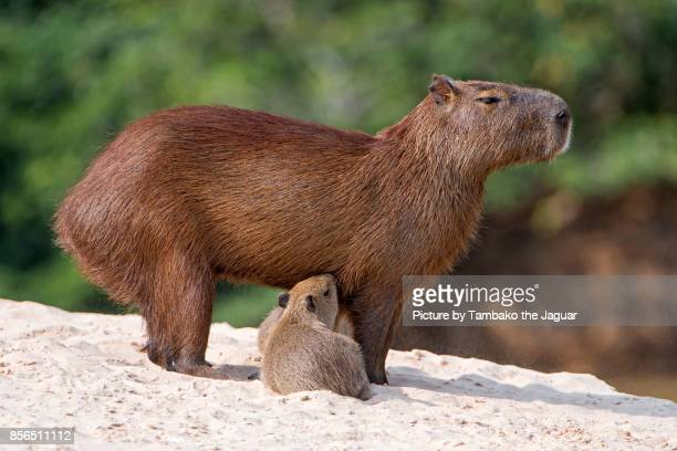 capybaras suckling - capybara stock pictures, royalty-free photos & images
