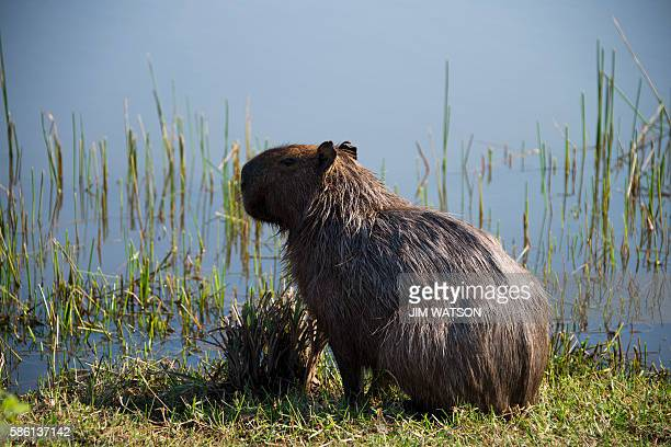 A capybaras the world's largest rodent sits on the edge of a water hazard during a morning training session at the Rio Olympic golf course ahead of...