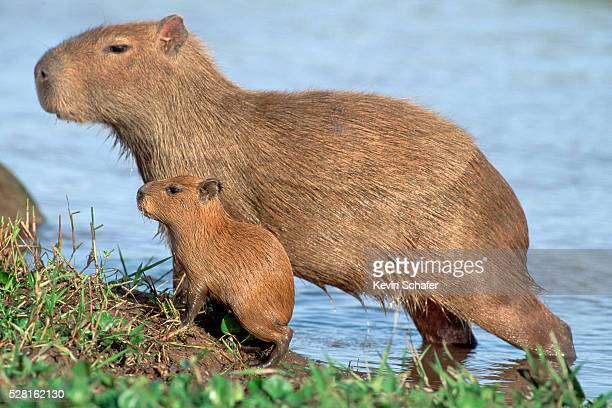 capybaras with baby - capybara stock pictures, royalty-free photos & images