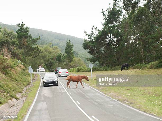Car about to run over a horse in the road through Fito mountain in Asturias. Wild and domestic animals, as well as free range cattle, cause every...