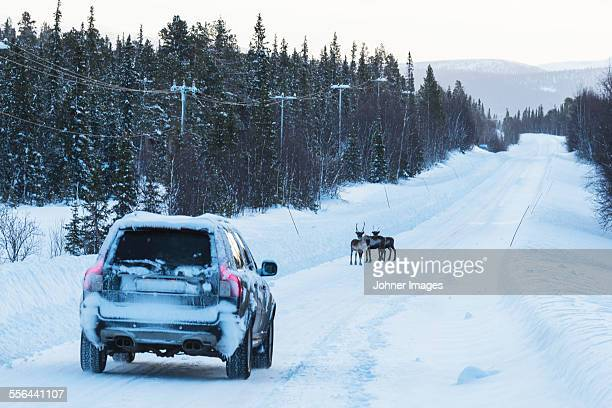 Car and reindeer on country road at winter