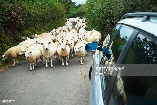 car and sheep on road - 羊の群 ストックフォトと画像