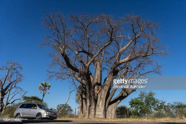 A car await tourists on June 29 2018 in the Zambezi national park near a Baobab tree famed to be on 10 cent coin former circulation piece of Zimbabwe...