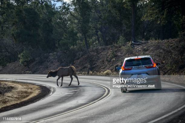 car brakes on the road, american elk (cervus canadensis) crosses a road in front of driving car, game pass, south rim, grand canyon national park, arizona, usa - animal crossing stock pictures, royalty-free photos & images