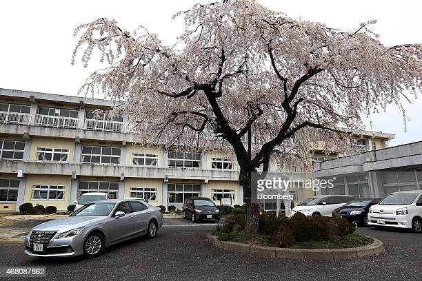 A car drives past a cherry blossom tree in front of Terabe Elementary School in Toyota City Aichi Prefecture Japan on Sunday March 29 2015 With...