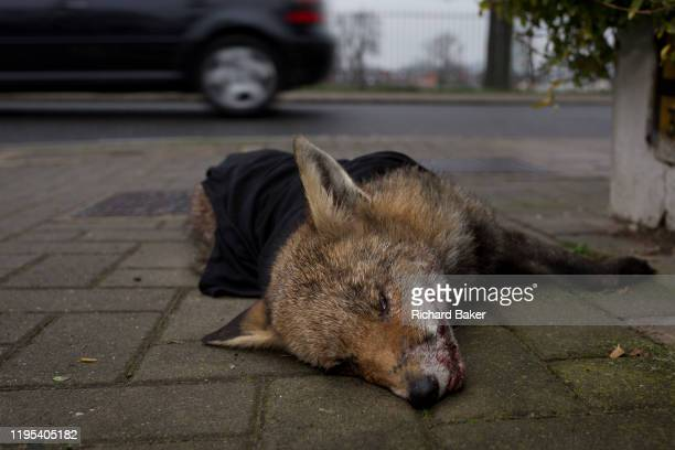 A car drives past a young urban north European fox lying dead on the pavement and partially covered by a garment and moved from the road by a...
