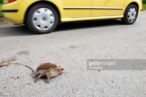 Car drives past dead hedgehog on country road Swinbrook Oxfordshire United Kingdom