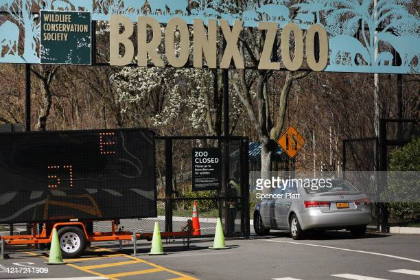 A car enters the Bronx Zoo on April 06 2020 in New York City A tiger at the zoo has tested positive for COVID19 the Wildlife Conservation Society...
