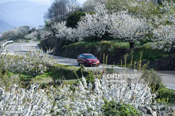 Car is photographed between terraced farms, full of cherry trees during the blossom, in a road toward Piornal in Valdastillas. With more than one and...