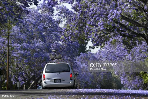 A car passes under a canopy of purple blossoms as southern California's Jacaranda trees go into full bloom May 19 2004 in South Pasadena California...