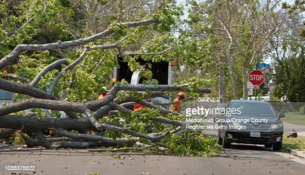 A car right squeezes by a large tree on the 1500block of Towner Street in Santa Ana was blown down by the strong winds hitting Orange County...