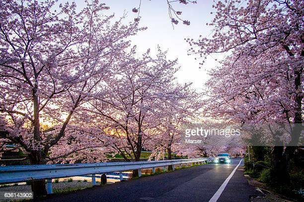 A car running through the rows of cherry trees in full bloom