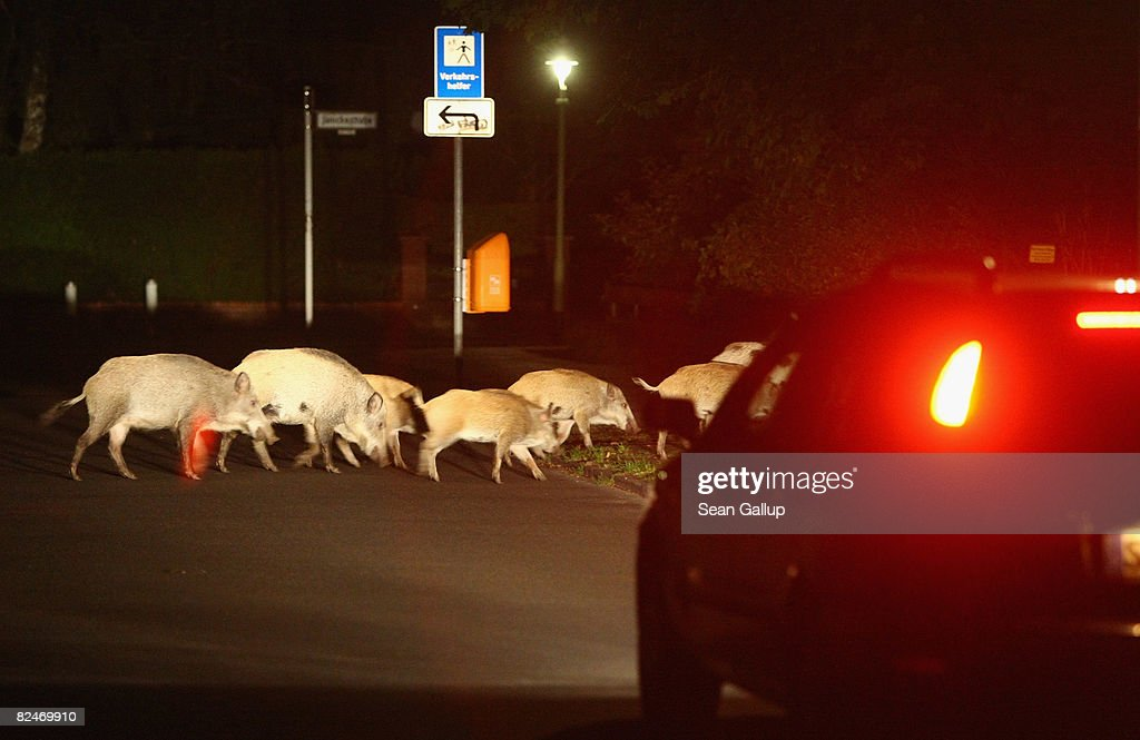 A car slows to avod hitting a herd of wild pigs,which one eyewitness reported numbered 26 animals, on the edge of a public park in Zehlendorf district on August 19, 2008 in Berlin, Germany.Wild pigs are becoming an ever-more common site on the outskirts of Berlin, and have become notorious for digging up residences' gardens. Some local authorities would like to hire hunters to kill the animals, though they also fear the image problems that might ensue.