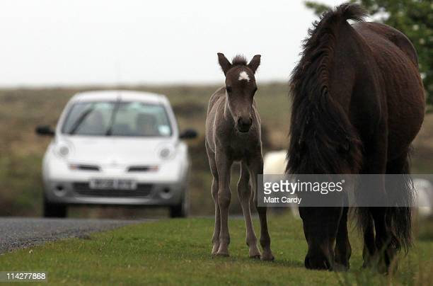 A car slows to look at Dartmoor Hill ponies and their recent foals on Dartmoor on May 17 2011 in Princetown England Although a tourist attraction...