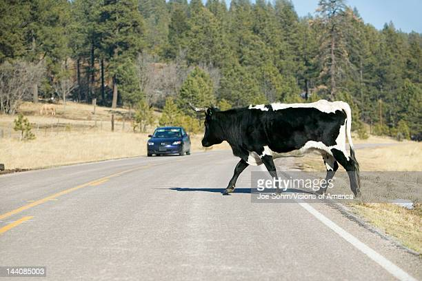 Car stops for large bull crossing highway in openrange of Mescalero Apache Indian Reservation New Mexico