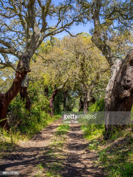 VICENTINA ALENTEJO PORTUGAL A car track running through a cork grove in southern Portugal