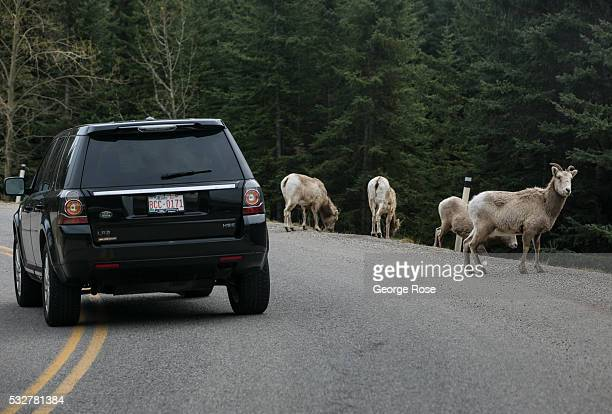 Car traffic moves around a herd of bighorn sheep walking along the Bow River Parkway on April 23 2016 in Banff Springs Alberta Canada Banff is...