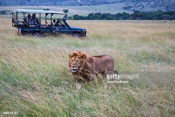 car with male lion at masai mara park in kenya - safari stock pictures, royalty-free photos & images