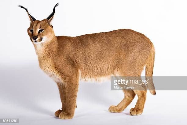 Caracal against white background.