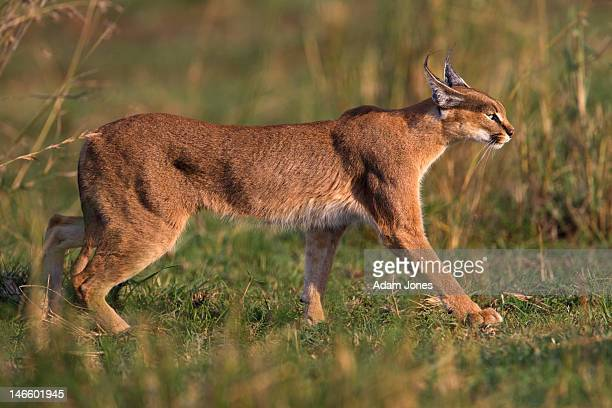 Caracal at sunset