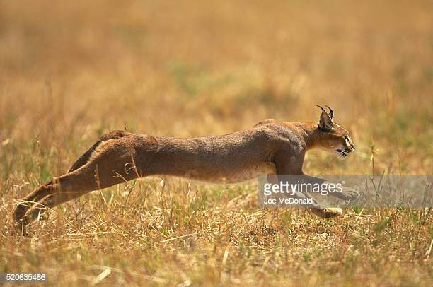 Caracal Cat Running