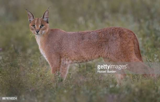 caracal full body portrait