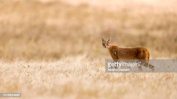 caracal in ngorongoro. - ngorongoro conservation area stock pictures, royalty-free photos & images