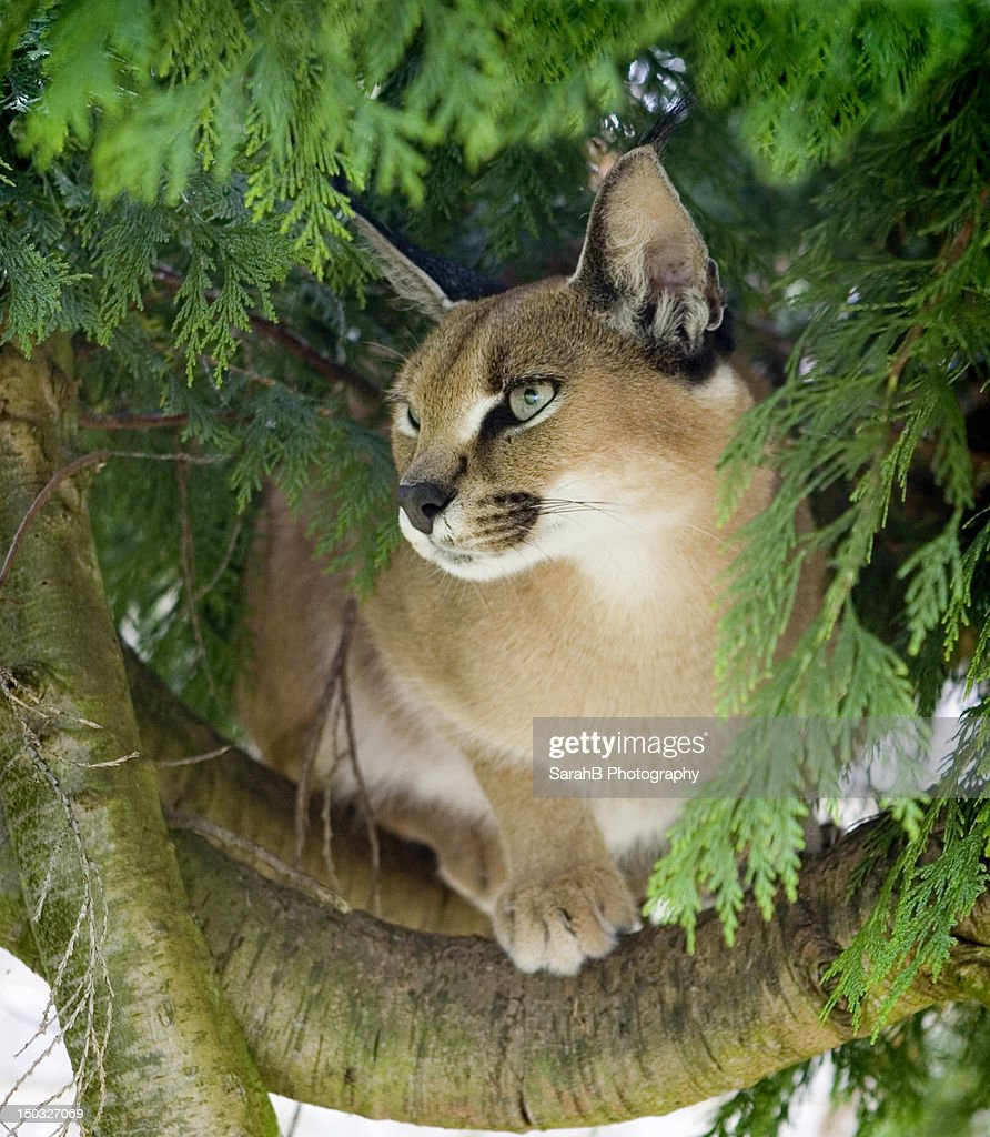 Caracal in tree : Stock Photo