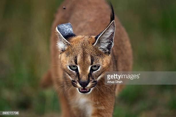 Caracal kitten aged about 6 months approaching - portrait