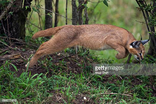 Caracal kitten aged about 6 months leaping