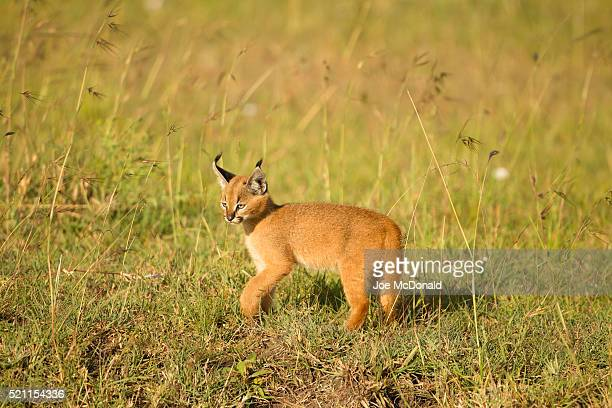 Caracal Kitten In Maasai Mara Grasslands
