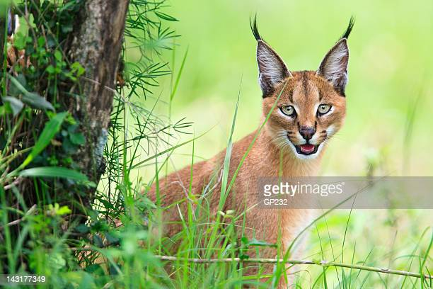 Caracal portrait