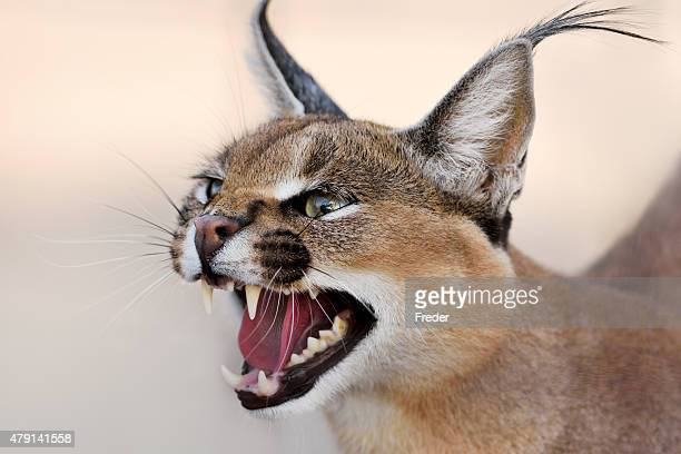 portrait de Caracal