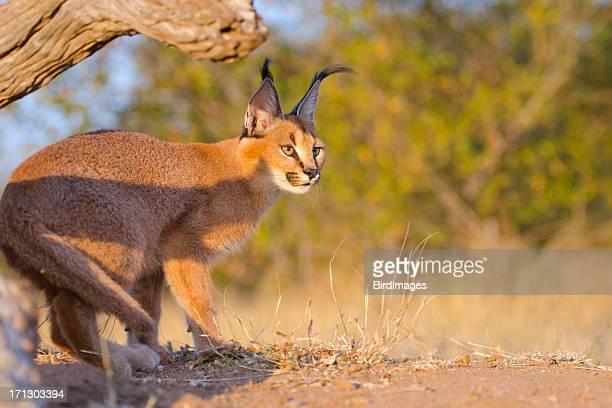 caracal être à l'affût-afrique du sud - lynx photos et images de collection